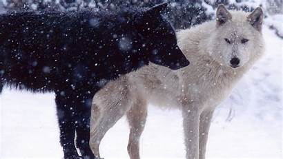 Wolves Wallpapers Wolf Pack Animal 1080 Backgrounds