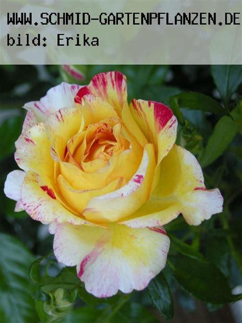 was blüht im april camille pissaro rainbow nation delbard ab 13 50 www schmid gartenpflanzen de