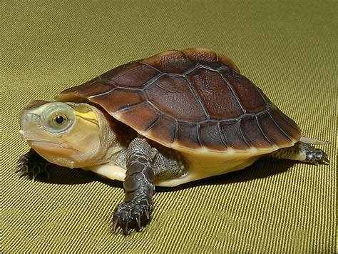 Heat Ls For Box Turtles by Golden Box Turtles For Sale From The Turtle Source