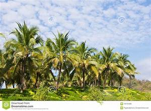 Coconut Trees In The Garden Stock Photo - Image: 18134480