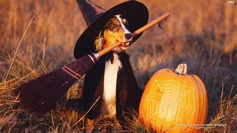 witch halloween dog dogs wallpapers