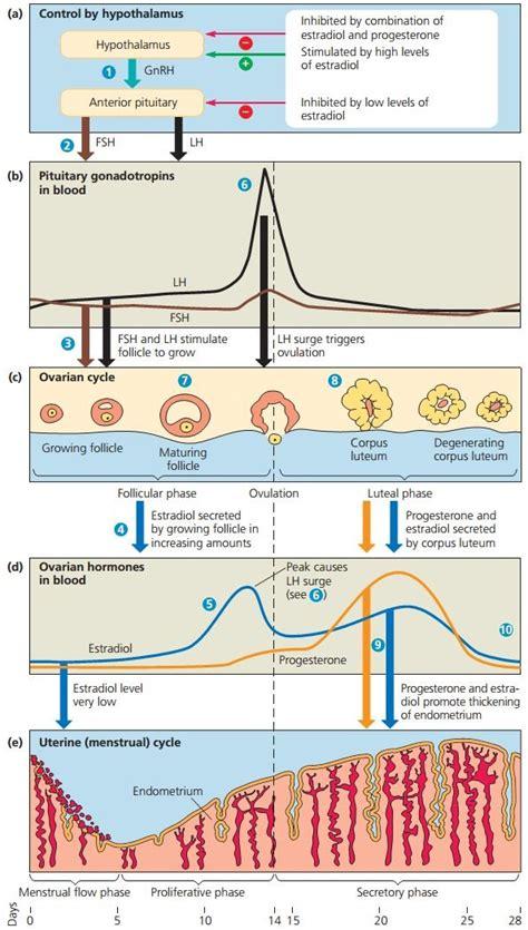 Gambar Rahim Pada Wanita Sistem Reproduksi Pada Manusia Sma Kls Xii Sisitim