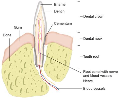 pilonidal cyst teeth diagram of a tooth abscess diagram of tongue cancer