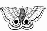 Moth Coloring Designlooter sketch template