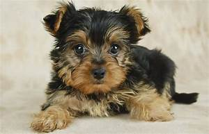 best dog food for yorkies 2018 dog food genius With best wet dog food for yorkies