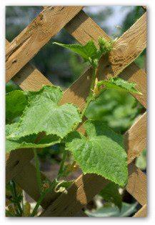 cucumber trellis tips