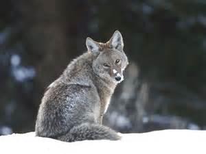 Endangered Animals Wallpapers - grey wolf endangered animals beautiful 1375882