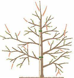 Wann Apfelbaum Pflanzen : apfelb ume richtig schneiden apfelb ume schneiden ~ Lizthompson.info Haus und Dekorationen