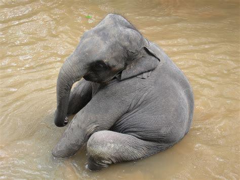 Elefante Africano, Animal En Peligro De Extinción