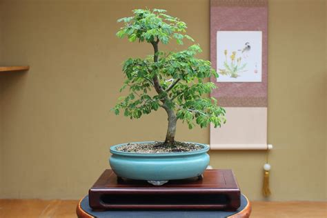 Quality Bonsai Trees & Supplies