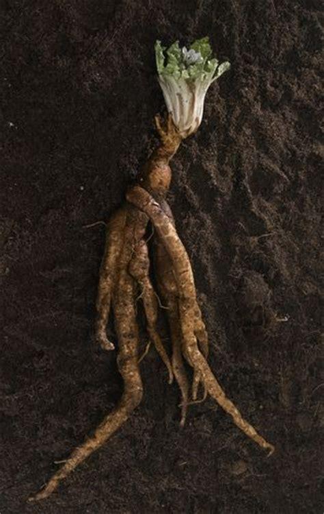 mandrake real mandrake root poison pinterest