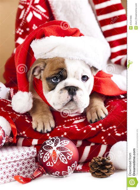 english bulldog puppy stock photo image  wiener dogs