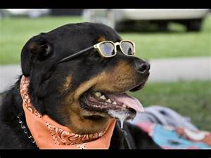 Cutest rottweiler puppies of all time funny puppy vid for Rottweiler dangerous dog