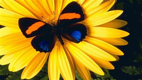 lovely yellow flower  colorful butterfly hd wallpapers