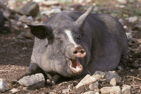 pig injures man  woman   attacks    hours