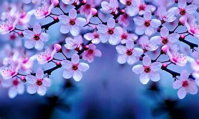Cherry Blossom Wallpapers Desktop Night