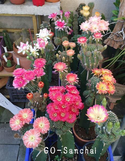 มาดูแคคตัส (cactus) สวย ๆ พร้อมวิธีการดูแลให้ออกดอกเยอะ ๆ ...