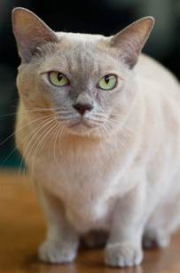 burmese cats size and weight of burmese cats many