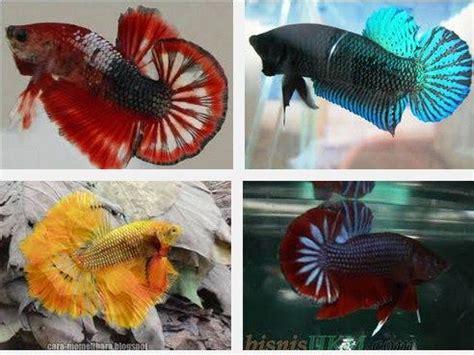 Cara Memelihara Ikan Cupang cara memelihara telur ikan cupang