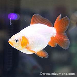 Goldfish on Pinterest | Comet Goldfish, Common Goldfish ...