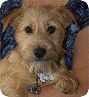 Levi Adopted Puppy Redondo Beach Ca Schnauzer