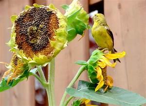 Sunflower Bird Feeding Activity