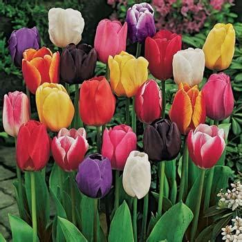 how to plant a tulip related keywords suggestions for tulip plant