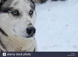 Cute grey-white female siberian husky dog portrait, blue ...