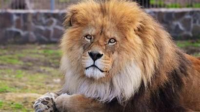 Lion 1080p Wallpapers Desktop Lions Widescreen Wallpapersafari