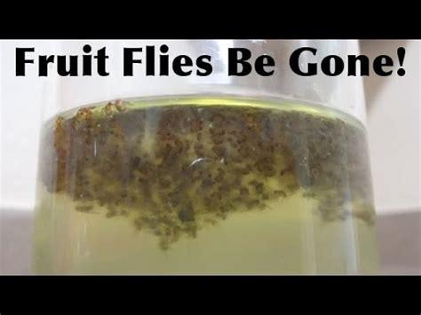 rid   fruit flies fast  simple youtube