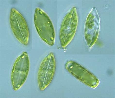Protist Images: Navicula salinarum