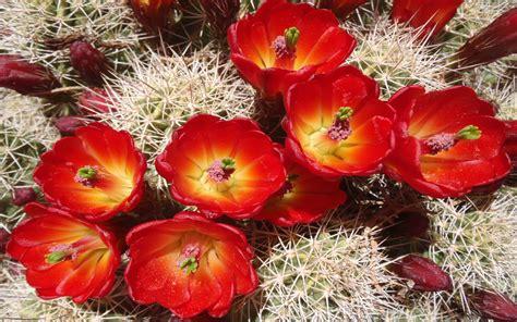 cactus beautiful desert red flowers garden plants