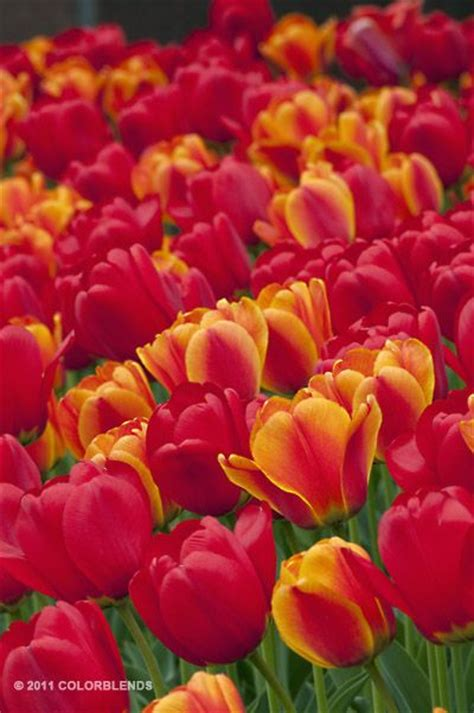 colorblends tulips you can custom order your color