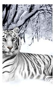 White Siberian Tiger Cubs In Snow | Amazing Wallpapers