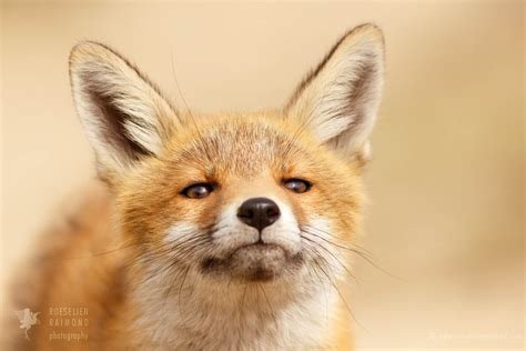 red fox kits photography cuteness captured   photo