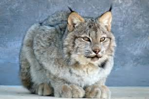 lynx cat day in the