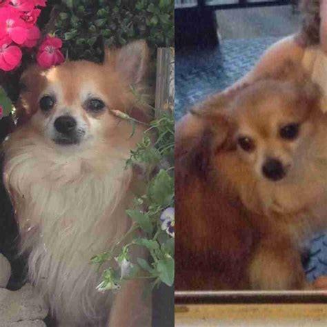 lost dog chihuahua  north west london kentish town
