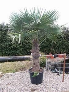 Palmenarten Für Draußen : palmenarten f r drau en palmen fest gepflanzt oder als ~ Michelbontemps.com Haus und Dekorationen