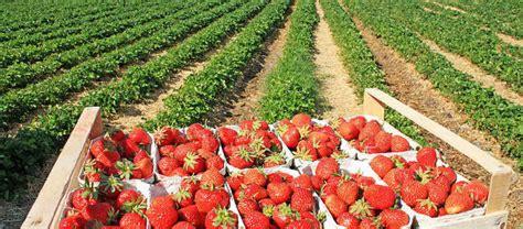 Spargel Herkunft Verarbeitung Und Lagerung by Erdbeeren Erzeugung Bzfe