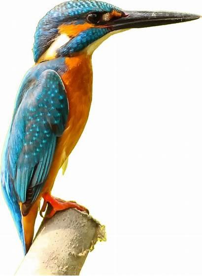 Kingfisher Bird Vector Clipart Domain Graphic Seabird