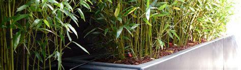bambous en bacs ou en pots destin 233 s aux terrasses en belgique