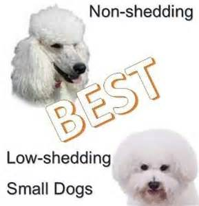 small non shedding dog breeds quiet dog breeds petfinder