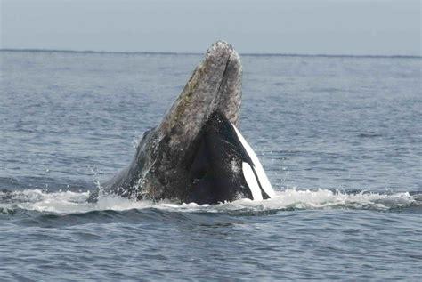 feeding habits killer whale