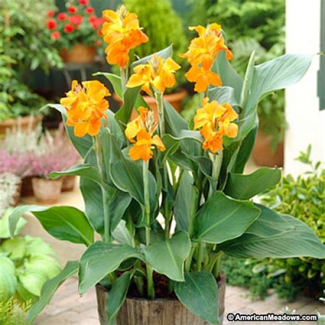 orange magic canna canna indica american