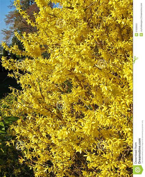 volle bl 252 te forsythie gelber strauch stockfoto bild 31908950