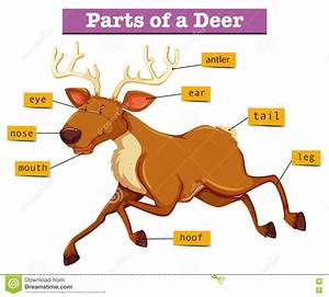 Diagram Showing Parts Of Deer Stock Vector