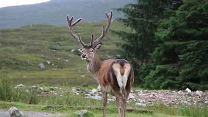 Deer Animal Horns Ecoturismo Escocia 720p Cairngorms
