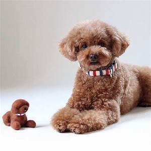 Red Toy Poodle Cute | www.pixshark.com - Images Galleries ...