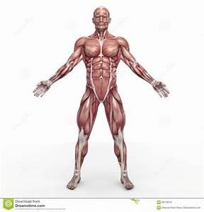 Snake Muscular Diagram