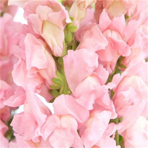 light pink flowers snapdragon light pink flower